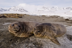 Elephant-seal-pups-resting-1h