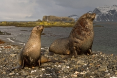 Fur-seal-couple-on-pebble-beach-1d