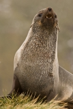 Fur-seal-portrait-1j
