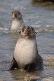 Juvenile-fur-seal-2b