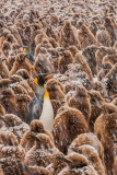 King-adults-and-chicks-in-snow-shower-2i